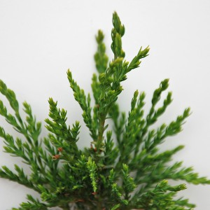 Chamaecyparis Lawsonia2