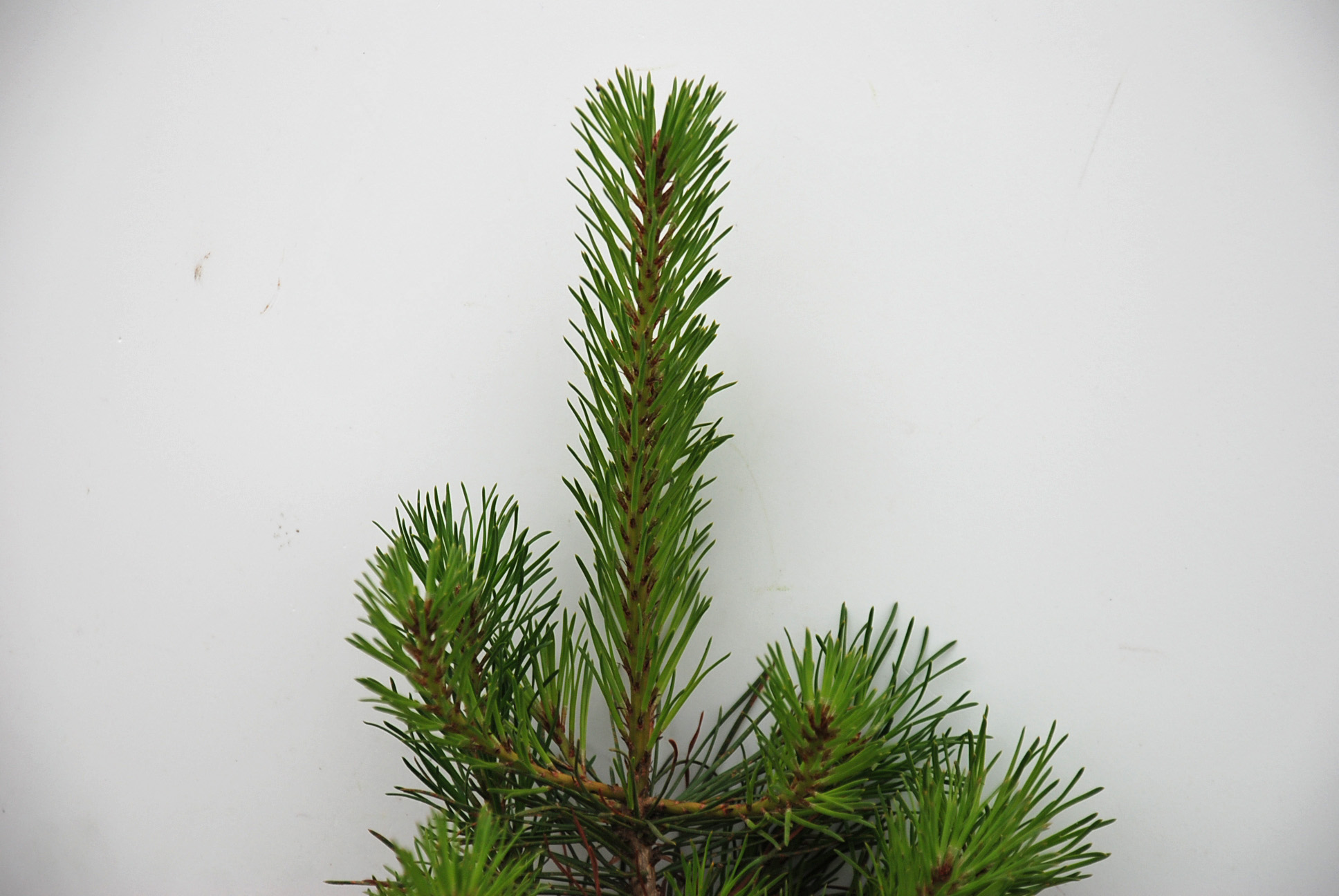 Wholesale Christmas Trees Oregon