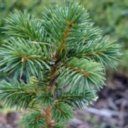 noble fir pines