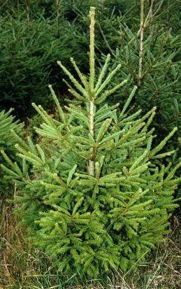 Christmas Trees Sales