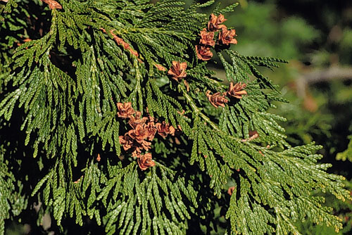 Thuya Plicata Western Red Cedar Trees Please