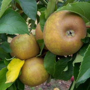 Apple - Egremont Russet (3)