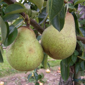 Pear - William's Bon Cretien (4)